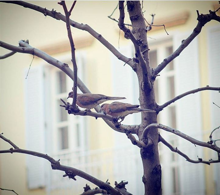 picoftheday lebanon beirut mybeirut birds tree free window photography...
